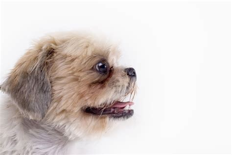 maltese shih tzu eye problems what causes a bad odor around in dogs