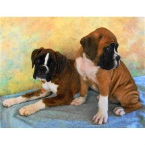 breeders in nc boxer breeders in carolina freedoglistings