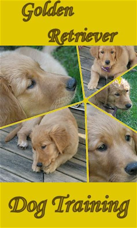 how fast do golden retriever puppies grow dogs are great companions dogs are great companions