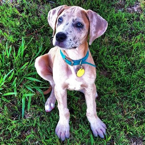 great dane puppies ta fawn merle great dane by huynh