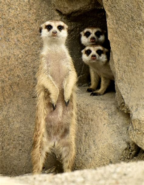 meerkat cincinnati zoo botanical garden