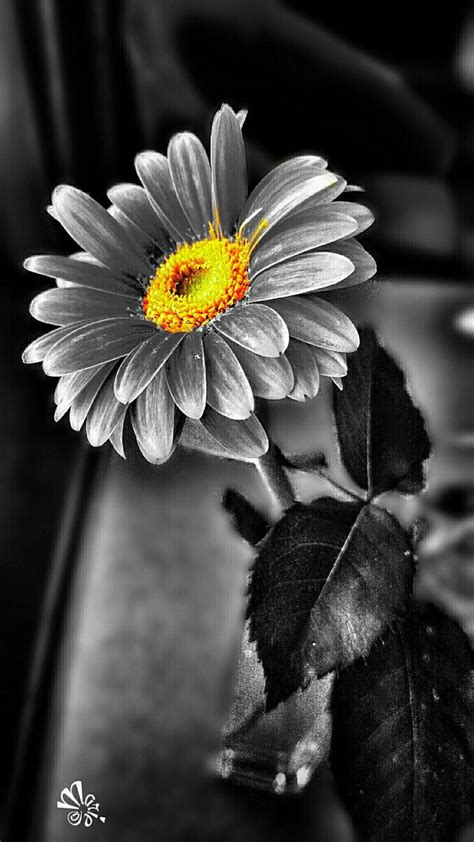 black and white photo with color 1000 ideas about color splash on splash of