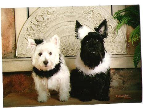 black west highland terrier puppies for sale love these dogs white westie and black westie westies