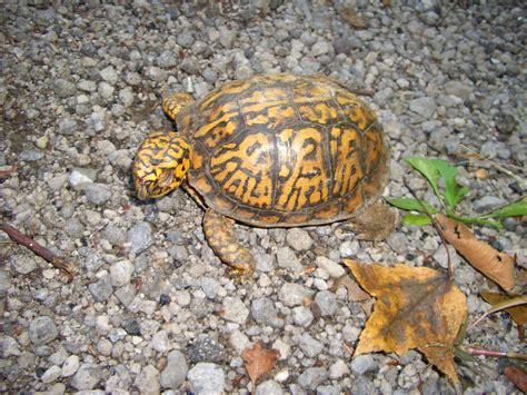 file eastern box turtle jpg wikipedia the free encyclopedia