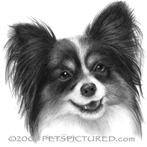 drawing of a puppy papillon portrait original pencil drawing prints apparel gifts pencil