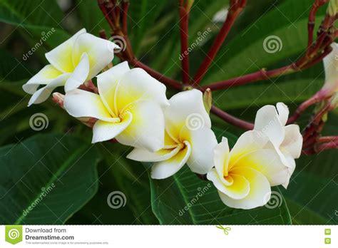fiori frangipane fiori bianchi frangipane o di plumeria fiore dell