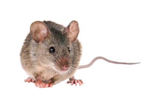 What Do They Look For On A Background Check Mice Vs Rats What S The Difference Rodent Prevention Tips