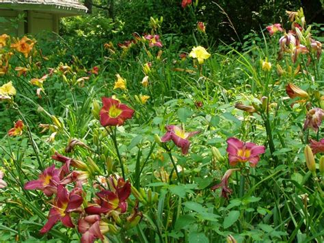 Daylilies For Shade Gogardennow Faq Will Daylilies Bloom In Partial Shade