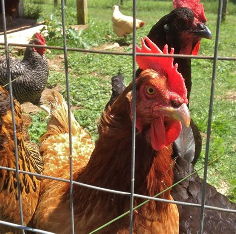 urban backyard chickens urban and backyard chickens in today s society