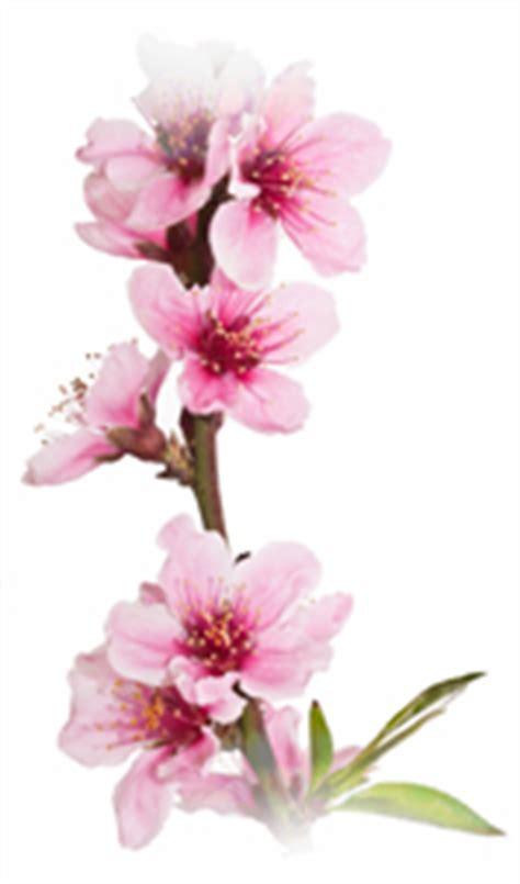 delaware state flower image gallery delaware flower