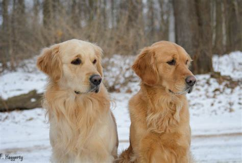 pennsylvania golden retrievers golden retriever breeders near pa photo