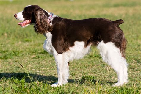 field springer spaniel puppies for sale springer spaniel puppies for sale from reputable breeders