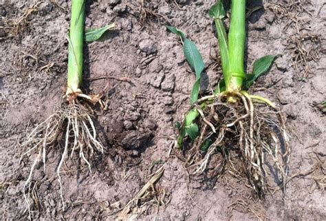 k state agronomy eupdate issue 465 july 11th 2014