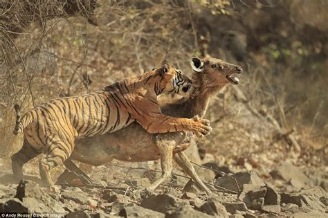 photos of tiger killing a deer are captured by