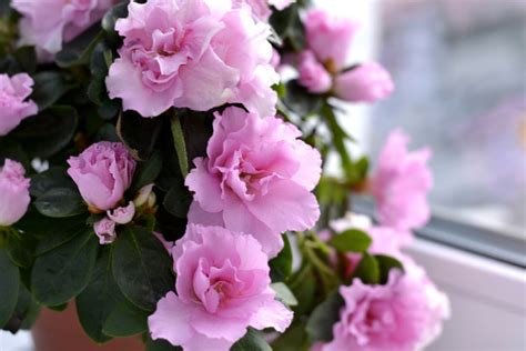 most common flowering house plants cover indoor flowering houseplants here by design