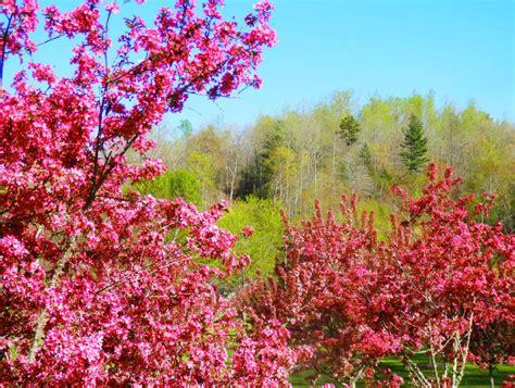 1 cherry tree apple blossom time along the blue ridge living in the blue ridge mountains of carolina