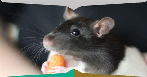 eliminare topi in giardino azioni preliminari topi in casa iside disinfestazioni