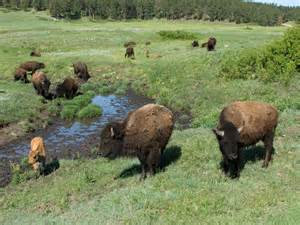 tiny plains plains bison species wwf