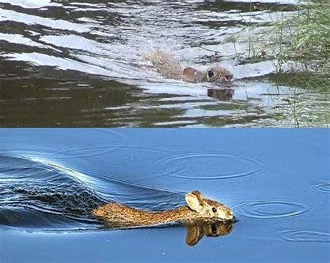 image gallery swimming rabbit