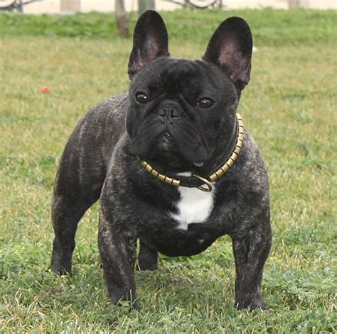 bull frances bulldog franc 233 s animalesmascotas