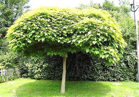 potatura piante da giardino catalpa piante da giardino