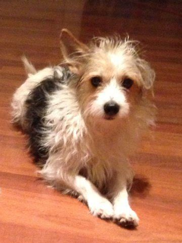 crested powder puff yorkie mix florida rescue adoptable dogs