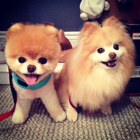 pomeranian boo breed 50 best who else but boo images on