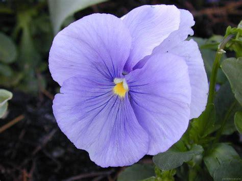 imagenes de flores juanitas coplas