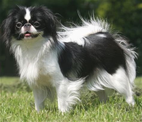 japanese breeds japanese chin health problems feeding raising a puppy