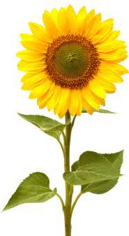 no sun plants sunflower picture 36 sunflower images and wallpapers for