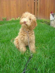 mini goldendoodles northern california labradoodle puppies for sale australian labradoodles