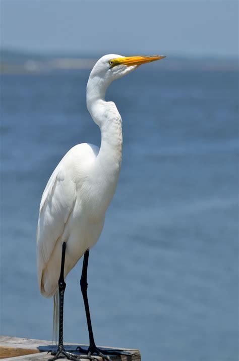 imagenes garzas blancas fotos gratis mar agua naturaleza p 225 jaro ala animal