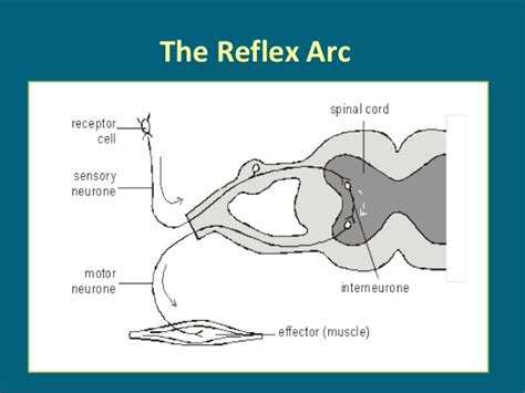 diagram of reflex reflex arc flow diagram image collections how to guide