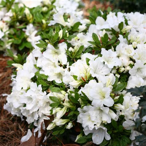 Azalea White bloom a thon white azalea meadow wholesale