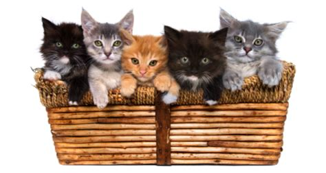 google images kittens the fresh content myth illustrated with cats