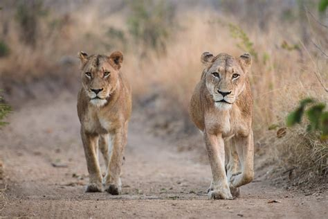 when a lioness growls a s pride books the pride feeds sabi sabi reserve