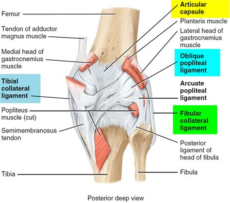 diagram of the knee muscles of the knee knee anatomy ligaments