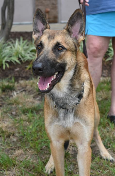 rescues near me picture 8 of 8 german shepherd puppies for adoption near me new wel e sheslap