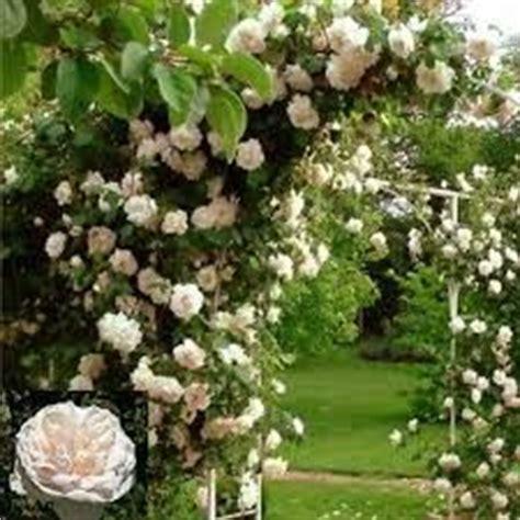ste antiche fiori oltre 25 fantastiche idee su ricanti su