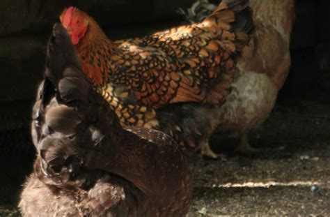 backyard chickens and flies buzz off flies and flystrike in your backyard chickens