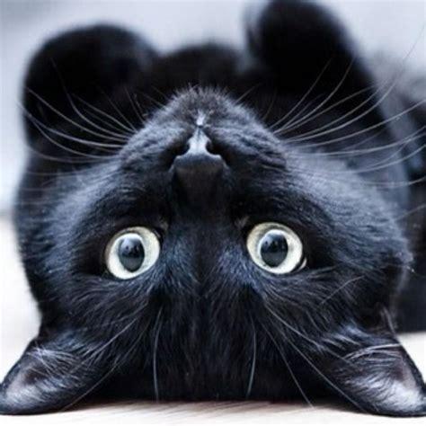 imagenes en negro de gatos image gallery imagenes de gatos negros