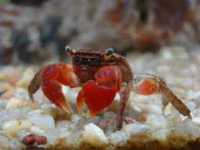 red claw crabs code list price 6 00 price 4 99 you save 1 01 17 17 out