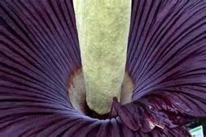 aro fiore titano aro fiore piu grande mondo aro titano il
