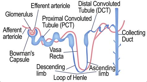 labelled diagram of the nephron labeled diagram of a nephron and its location and functions