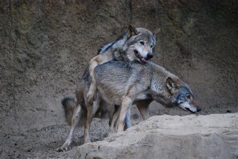 animal big dogs mating mating