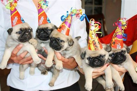 pugs with hats pugs with hats k9