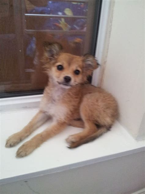 pomeranian cross pin chiuaua cross pomeranian image search results on