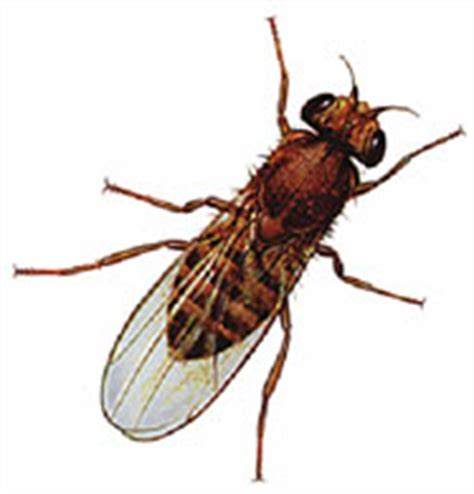 fruit fly lifespan span cycle of fruit fly