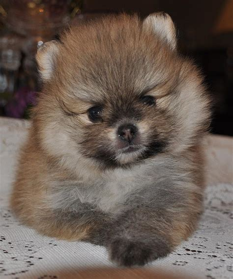 pomeranian orange pomeranian orange photograph by evan spicer