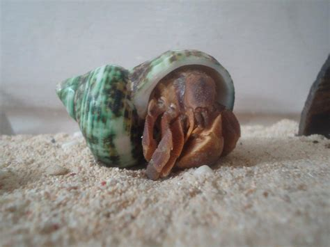 Hermit Crabs Shedding by Gets Adopted For The Of Hermit Crabs